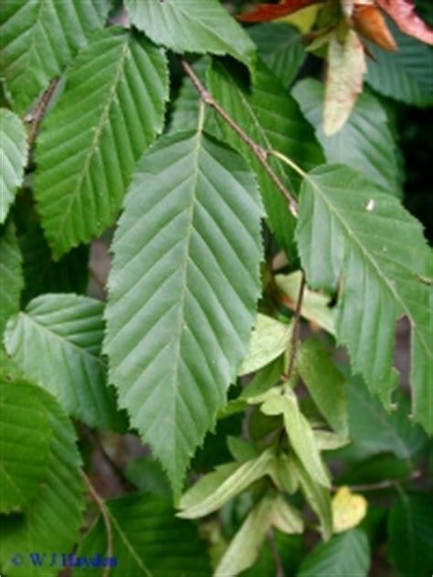 native tree spotlight musclewood