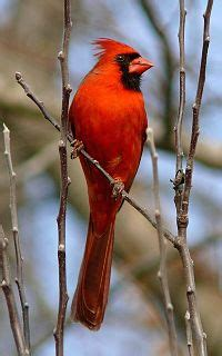northern cardinal bird  beautiful redbird