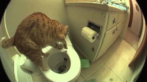 marmalade  cat   toilet  flushes