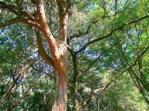 fabriquer sa cuisine en bois le permanbouc ou bois brésil un arbre étonnant