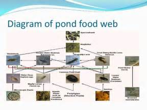 Pond Ecosystem Diagram For Kids galleryhip com - The