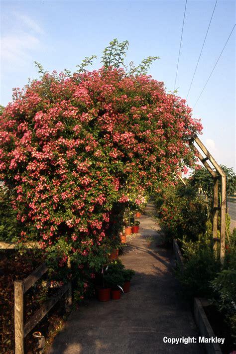 Ramblerrose 'maria Lisa'  Garten Punzmann Gmbh Menzlhof
