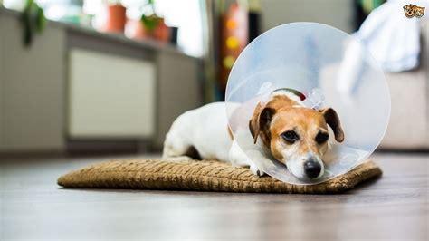 care   dog     neutered