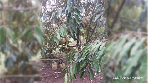 dulu palawija  durian monthong