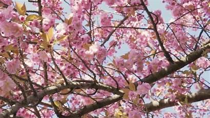 Blossom Cherry Background Sakura Spring Nature Blooming