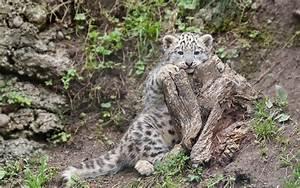 Snow Leopard Kittens | www.imgkid.com - The Image Kid Has It!