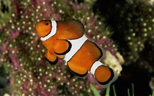 Awesome Clownfish Swim Alone Animals Wallpapers Picture ...
