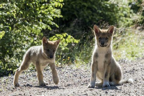 inbreeding  scandinavian wolves  worse   thought
