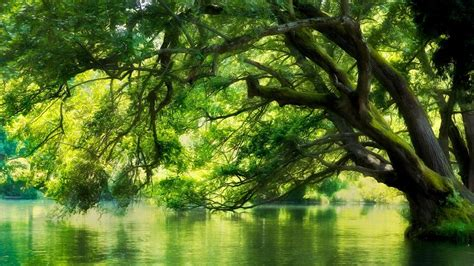 tree  water forest tapeta hd tlo  id