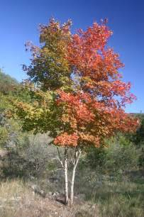 file bi colored maple tree jpg wikipedia
