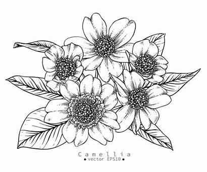 Flores Dibujos Dibujar Colorear Camellia Dibujo Flower