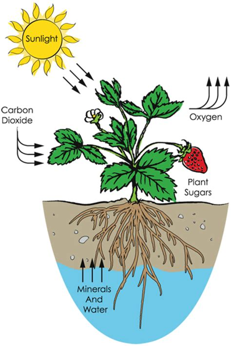 how to grow flowers radish plants growth www pixshark com images galleries with a bite