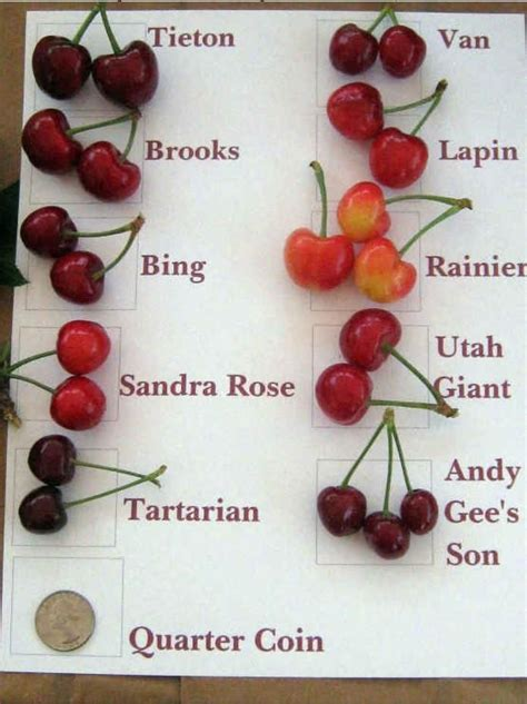 cherries types varieties of cherries garden pinterest cherries charts and types of