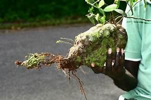 Australian Succulents - Ant Plants