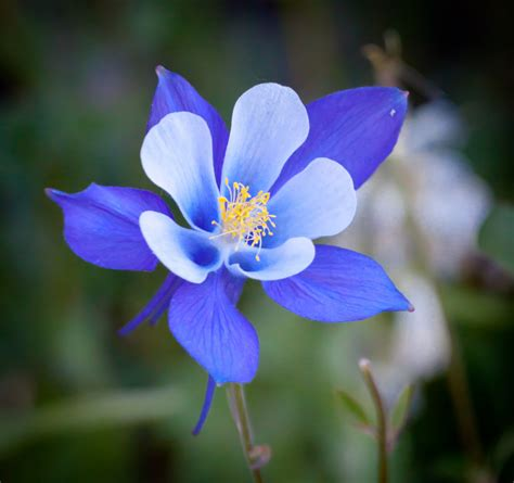 the columbine flower extraordinary and most beautiful flower in the world homestylediary com