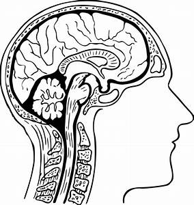 Drawing Of The Brain With Labels