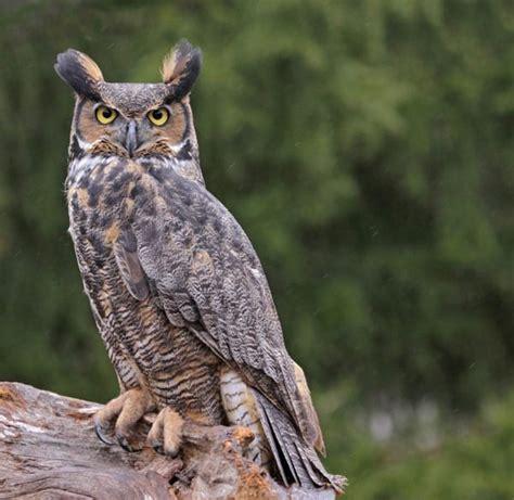 great horned owls   horns nurture nature foundation