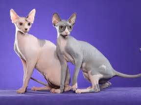 hairless cat breeds mylespaul new breed of cat