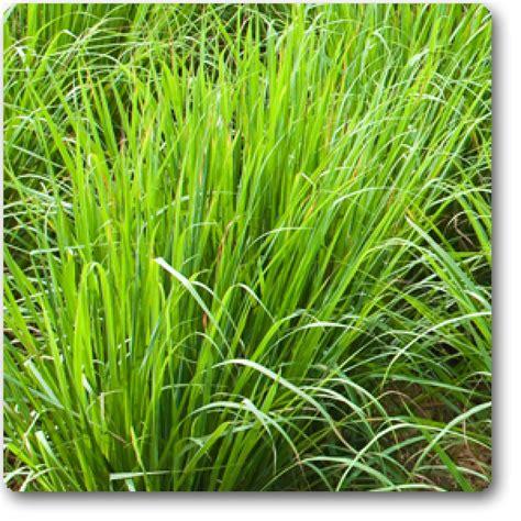 buy  lemon grass seeds   nursery