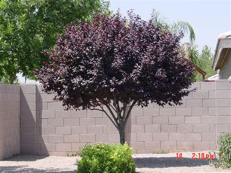 tree with purple leaves we don t plant certain trees in las vegas landscaping