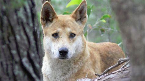 brisbane city council registers illegal dingoes  pets