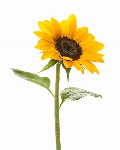 Sunflower Transparent Background Freepngimg