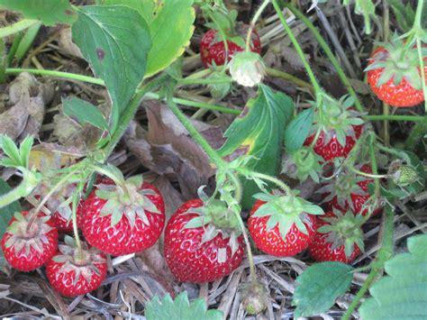 planting strawberries strawberry fields 171 woolly green