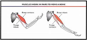 Muscles Work In Pairs