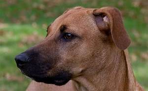 black mouth cur dog breed need know