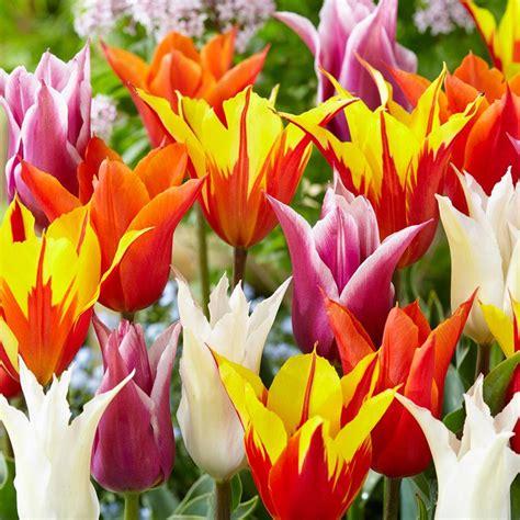 longfield gardens hyacinth fierce mix bulbs  pack