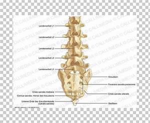 35 Lumbar Vertebrae Diagram
