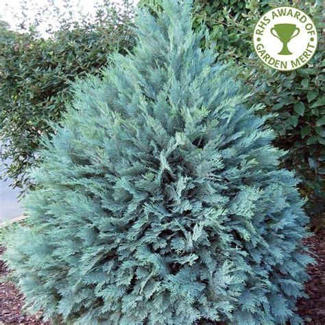 ornamental conifers chamaecyparis lawsoniana pembury blue lawsons cypress blue conifer