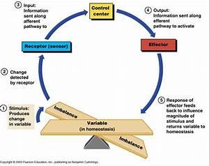 Insulin Glucose Feedback Loop Diagram  Insulin  Free