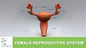 Female Reproductive System Kids - Human Body Anatomy System