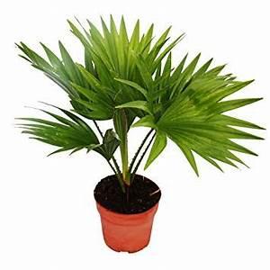 Welche Erde Für Palmen : was ist mit der palme los krankheit pflanzen pflege ~ Watch28wear.com Haus und Dekorationen