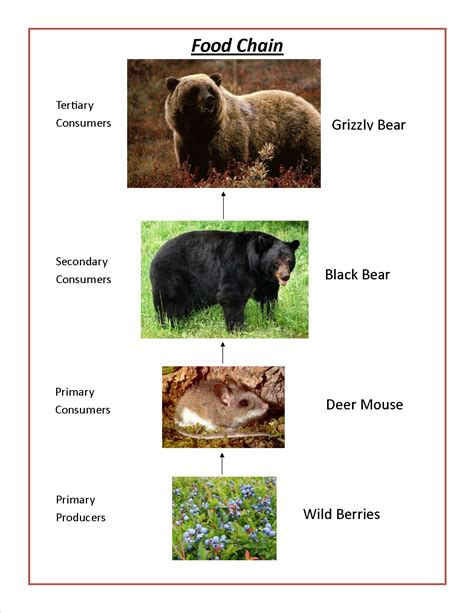 boreal cuisine grizzly bears of canada grizzly