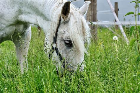 teeth horses many grass horse ailments summer crush pull premolars incisors they eat avoiding equine horslyx swallowing pick everything while