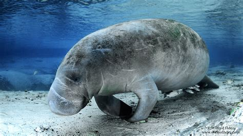 manatee  hd desktop wallpaper   ultra hd tv wide