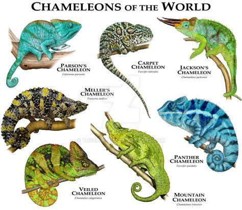 types of chameleons chameleons of the world by rogerdhall on deviantart