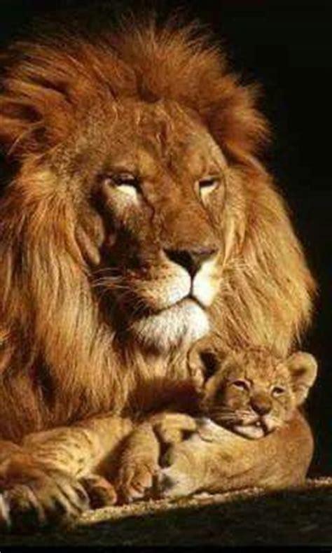 leon  su cria animales salvajes leones animales