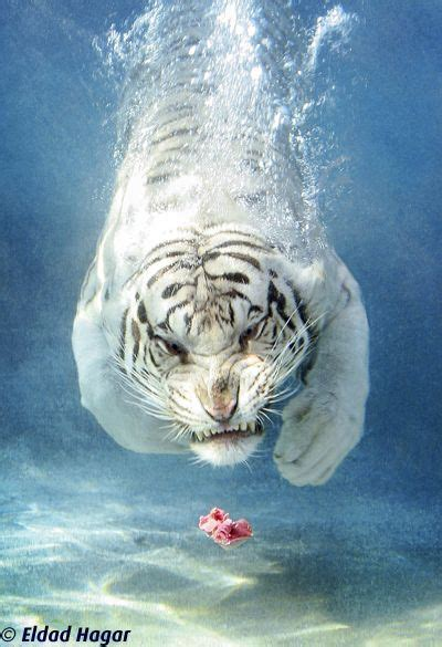 White Tiger Shark Eldad Hagar Kingdom Animalia