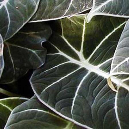 alocasia black velvet elephant ear plant colocasia