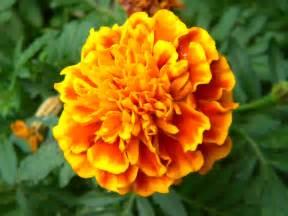 Orange Marigolds Day of the Dead