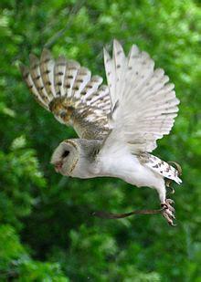 australian masked owl wikipedia