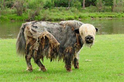 Mongolia Yak Wild · Free Photo On Pixabay