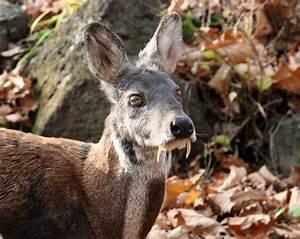 Musk Deer Poaching in Russia Linked to Logging Roads