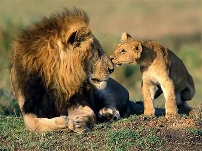 Wild Animals Animal Wildlife Any Lion Nature