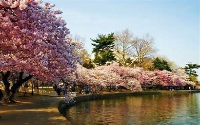 Cherry Dc Washington Blossoms Trees Wallpapers Desktop