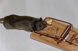 Produit Pour Tuer Les Souris : pi ges rats astuces taupier sur la france ~ Melissatoandfro.com Idées de Décoration
