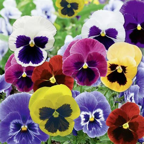 fiori le viole viola pensiero e viola cornuta consigli di
